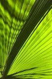 Palm leaf. Of a rain forest Stock Photos