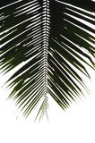 Palm leaf. Silhouette of ragged palm leaf stock images