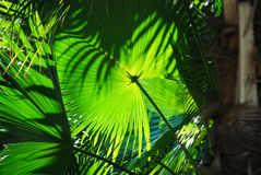 Palm leaf Royalty Free Stock Photography
