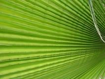 Palm Leaf. Mexican Fan Palm leaf closeup, macro Stock Photo