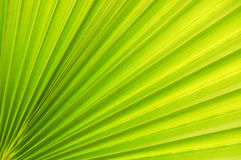 Palm leaf. Beautiful detail of the palm leaf Stock Photo
