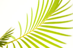 Palm leaf. Beauty green palm texture / background Stock Images