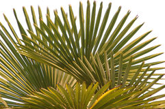 Palm Leaf. Green palm leaf on sky Stock Photo