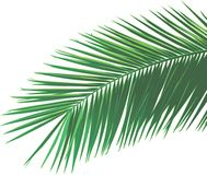 Palm leaf. A palm leaf illustration. Isolated Royalty Free Stock Images
