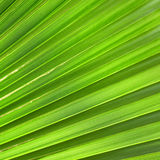 Palm leaf Royalty Free Stock Images