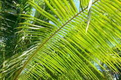 Palm leaf. Texture. Jungle background Stock Photography