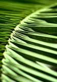 Palm leaf abstract. Detail from a palm leaf Stock Photography