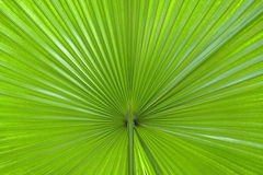 Palm leaf abstract. Extreme close-up image of a palm leaf-useful natural background image Royalty Free Stock Photo