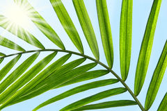 Palm leaf against a sunny sky Royalty Free Stock Images