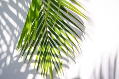 Free Palm Leaf And Shadows On A White Background Royalty Free Stock Photo - 185105025