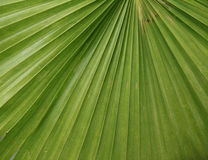 Palm leaf. As background Royalty Free Stock Photo
