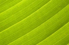 Palm Leaf Background. Macro photo of a palm leaf Royalty Free Stock Photos