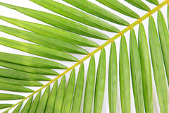 Palm leaf background Royalty Free Stock Image