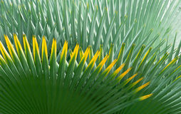Palm Leaf Background. A Green Palm Leaf Background royalty free stock images