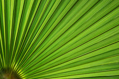 Palm leaf background. Suitable for tropical theme design Royalty Free Stock Photography