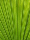 Palm leaf background. Close up photo of a palm leaf Royalty Free Stock Photography