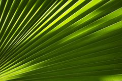 Palm Leaf Background. Tropical Theme: Palm Leaf Background. Great as Background for Exotic Travel Agency etc. Nature Backgrounds Photo Collection Stock Image