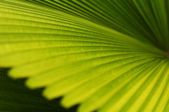 Palm Leaf Background. Nature's pattern and perspective of tropical palm leaf Stock Photography