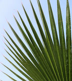 Palm leaf. On a background of blue sky Stock Image