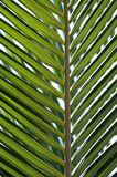 Palm leaf background, close up Royalty Free Stock Images