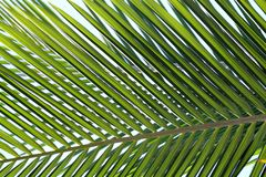 Palm leaf background, close up Royalty Free Stock Photos