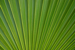 Palm leaf background Stock Image