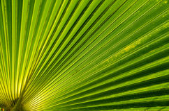 Palm leaf background. Royalty Free Stock Photography