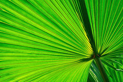 Palm leaf background Royalty Free Stock Photos
