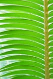 Palm leaf. Stock Photo