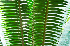 Palm leaf. Stock Photography
