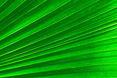 Palm Leaf Background Royalty Free Stock Photography