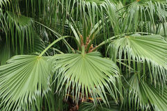 Palm leaf for background Stock Images