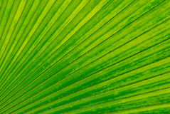 Palm leaf backlighted Stock Photography