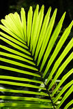 Palm leaf backlit with sunlight. Beautiful tropical palm leaf backlit with sunlight shining through Stock Image