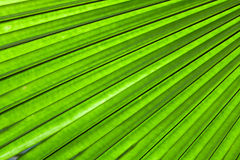 Palm leaf backlit with sunlight Stock Images