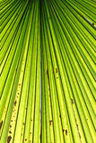 Palm leaf backlit with sunlight Royalty Free Stock Photo