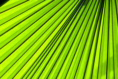 Palm leaf backlit with sunlight Stock Photos