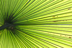 Palm leaf backlit with sunlight. Beautiful tropical palm leaf backlit with sunlight shining through Stock Photography