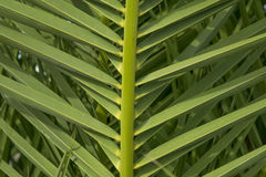 Palm leaf. Beautiful green date palm leaves Royalty Free Stock Image