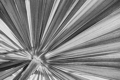Palm leaf in black and white. Closeup on tropical palm tree leaf texture in black and white Royalty Free Stock Photos