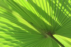 Palm leaf bright green color in nature with spike shadow and lin. Es on surface background Stock Images