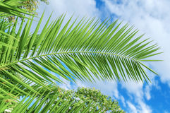 Palm leaf close with cloudy sky background Royalty Free Stock Image