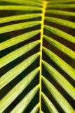 Palm leaf close up Stock Images