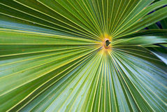 Palm Leaf Close Up. The intricate lines and patterns contained within a palm leaf Stock Photo