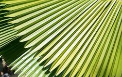 Palm leaf. Royalty Free Stock Image