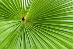 Palm leaf. Close up Royalty Free Stock Photo