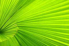 Palm leaf. Close up Stock Photo