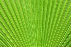Palm leaf close-up Royalty Free Stock Images
