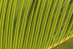 Palm Leaf. Close up image of a palm leaf in the sun Stock Photography