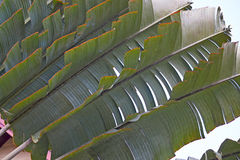 Palm leaf close-up Royalty Free Stock Photography